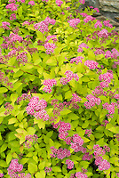 Spiraea japonica Goldflame in pink bloom