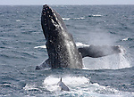Humpback whale in March