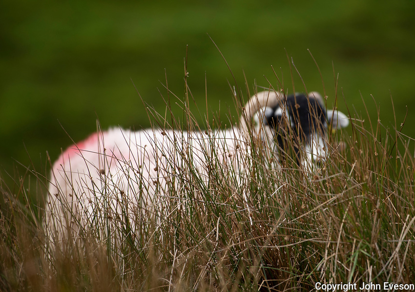 Swaledale ewe behind rushes near Lancaster, Lancashire.