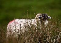 Swaledale ewe behind rushes near Lancaster, Lancashire.