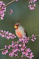 Pyrrhuloxia (Cardinalis sinuatus), male on Eastern Redbud (Cercis canadensis), Dinero, Lake Corpus Christi, South Texas, USA