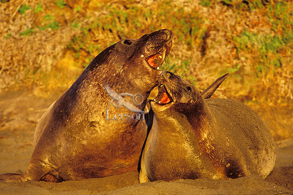 Male and female Northern Elephant Seals (Mirounga angustirostris).  Male or bull on the left is courting the female--hoping she will stay on his section of beach.  CA..December.