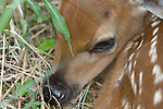 White-tailed deer (Odocoileus virginianus) fawn close-up.