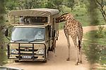 07.01.2019, Broederstroom, Johannesburg, RSA, TL Werder Bremen Johannesburg Tag 05 - Besuch Lion and Safari Park<br /> <br /> im Bild / picture shows <br /> Die Giraffe steckt ihren Hals in den Werder Bus <br /> <br /> Foto © nordphoto / Kokenge