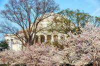 Jefferson Memorial Cherry Blossoms Washington DC Architecture Cherry Blossoms blooming around the Tidal Basin, National Mall , and US Capitol in Washington DC symbolize the natural beauty of our Nation's Capital City and has become part of Washington DC's rite of Spring. Landmarks include the Jefferson Memorial, Washington Monument, and US Capitol. A popular tourist attraction and travel destination for many visiting Washington DC.