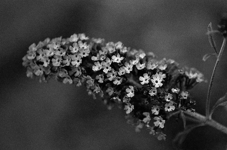 Flowers, Ilford Delta Film