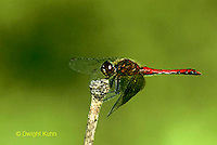 1O05-040z  Skimmer Dragonfly - Band-winged Meadowhawk male - Sympetrum semicinctum