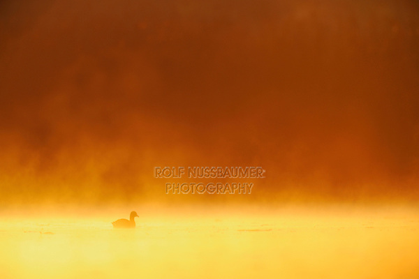 American Coot (Fulica americana), adult at sunrise in fog, Fennessey Ranch, Refugio, Coastal Bend, Texas Coast, USA