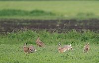 Europäischer Feld-Hase, Feldhase, Hase, auf einer landwirtschaftlich genutzten Wiese, Grünland, Landwirtschaft, Lepus europaeus, European hare