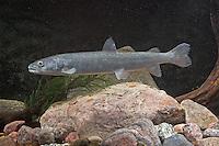 Huchen, Donaulachs, Hauch, Hucho hucho, Danube salmon, Huchon