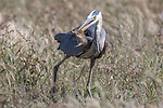 USA, California, Pt. Reyes National Seashore, great blue heron (Ardea herodias) snatches Botta's pocket gopher (Thomomys bottae)