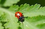 Ladybug, Ladybird Beetle, Sepulveda Wildlife Refuge, Southern California