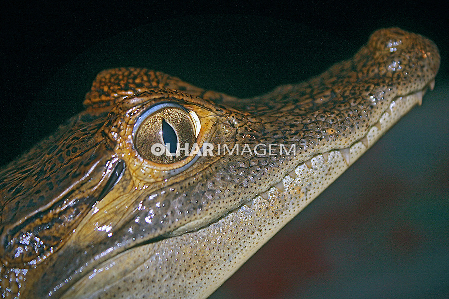 Animais. Repteis. Filhote de Jacaretinga ( Caiman crocodylus ). AM. Foto Juca Martins