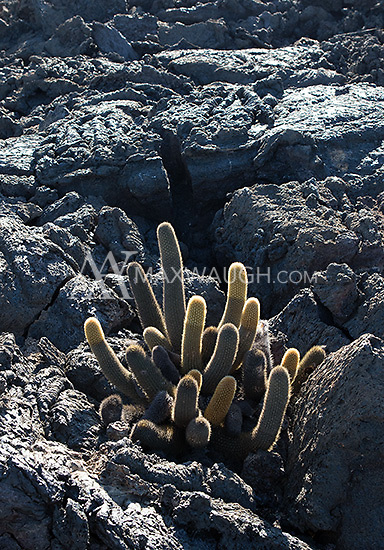Much of the plantlife on the Galapagos Islands is similar to that found in arid environments on the mainland.