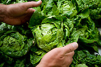 A head of butter lettuce is chosen from the Oak Ridge Valley Farm booth at the McKinney Farmers Market at the Chestnut Square Historic Village in McKinney, Texas, Saturday, April 26, 2009. Tomato and pepper season is just around the corner as greens near the end of their season. ..MATT NAGER/ SPECIAL CONTRIBUTOR