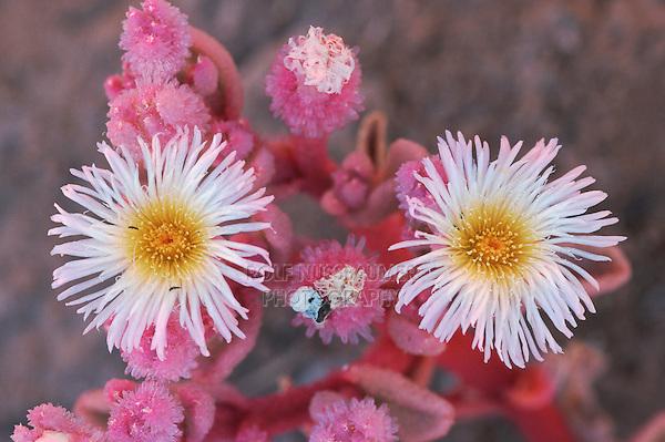 Mesembryanthemum (Aizoaceae), blooming, Namib Desert, Namibia, Africa