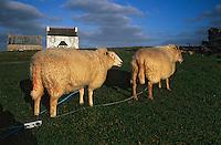 Europe/France/Bretagne/29/Finistère/Ile d'Ouessant: Lors de la fête des moutons