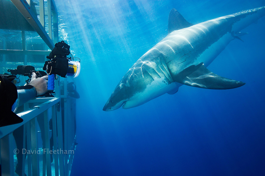 Divers in cages get a close look at a great white shark, Carcharodon carcharias, off Guadalupe Island, Mexico.