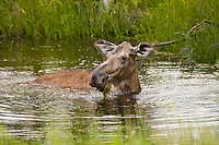 Cow moose feeds in tundra pond in Alaska's interior.