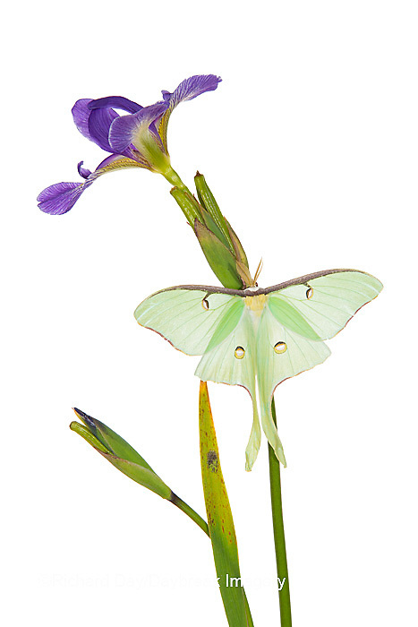 30040-00102 Luna Moth (Actias luna) on Blue Flag Iris (Iris versicolor) on white background, Marion Co., IL