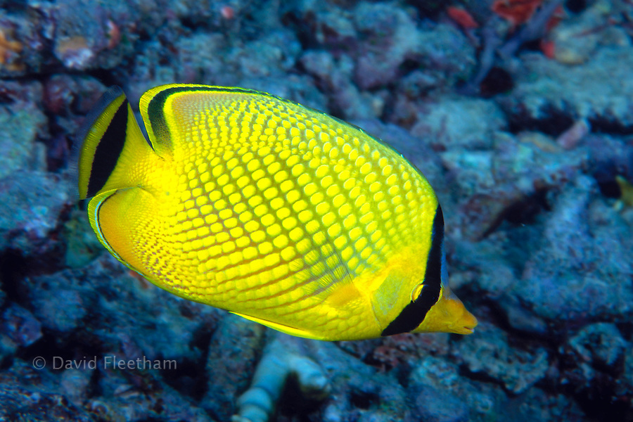 The latticed butterflyfish, Chaetodon rafflesi, feeds on sea anemones, polychaetes and coral polyps.  Indonesia.