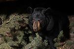 Black bear (Urus americanus) in den