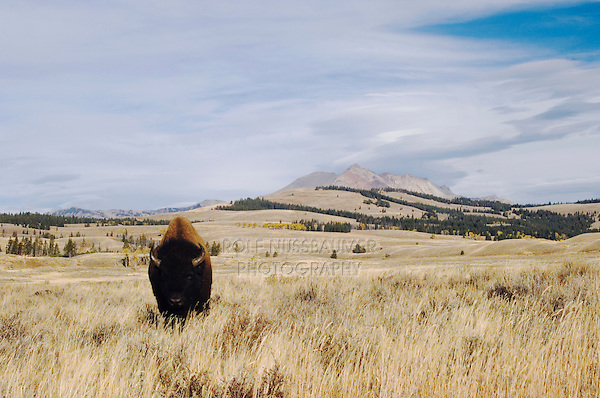 American Bison, Buffalo (Bison bison), adult, Yellowstone NP,Wyoming, September 2005...
