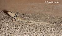 0612-1012  Great Basin Collared Lizard (Mojave Black-collared Lizard), Mojave Desert, Crotaphytus bicinctores  © David Kuhn/Dwight Kuhn Photography