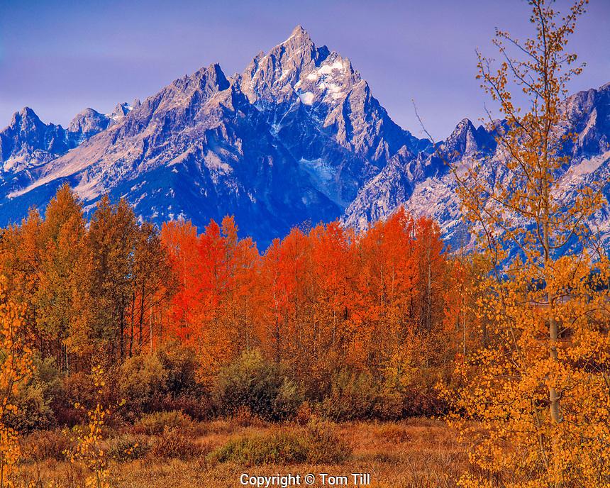 Grand Teton & Fall Color, Grand Teton National Park, Wyoming  Aspens   Populus fremontii