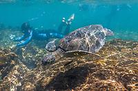 Snorkeling with Galapagos green sea turtle, Santiago Island, Galapagos Islands, Ecuador