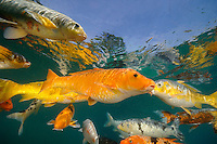 Koi are freshwater carp raised in ponds