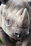 Black rhino, Diceros bicornis, captive, native to Africa