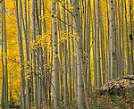 White River National Forest, CO<br /> Wall of gold Aspen (Populus tremuloides) in West Maroon Creek valley - Maroon Bells-Snowmass wilderness