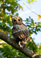 Spotted wood owl (Strix seloputo) is an owl of the earless owl genus, Strix. Its range is strangely disjunct; it occurs in many regions surrounding Borneo, but not on that island itself. Image taken in Pasir Ris Park - Singapore.