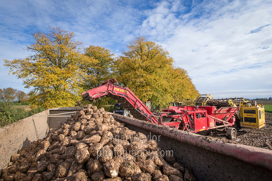 Cleaning & loading sugar beet with CTM cleaner