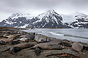 Southern Elephant Seal (Mirounga leonina) colony. King Haakon Bay, South Georgia. November.