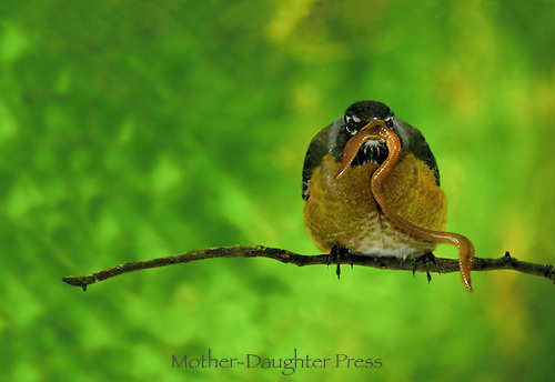The early bird-- Robin Turdus migratorius, perched on a branch with mouthful of worm