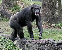 0209-08nn  Chimpanzee, Pan troglodytes © David Kuhn/Dwight Kuhn Photography