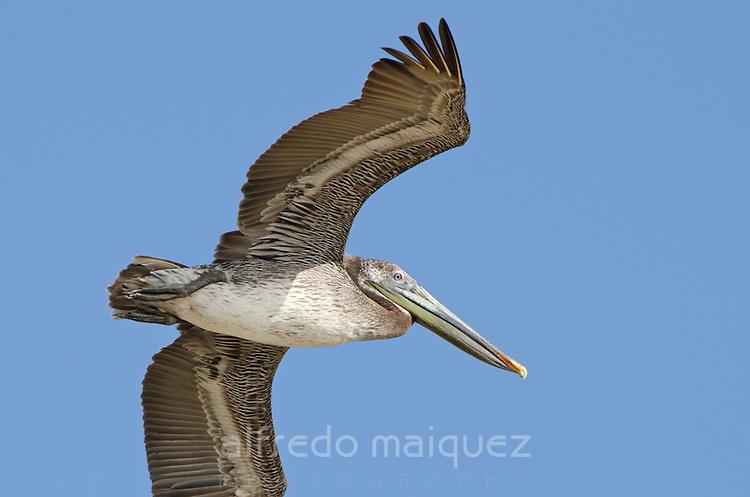 Brown Pelican (Pelecanus occidentalis carolinensis) flying in Pacheca Island. Las Perlas archipelago, Panama, Central America.