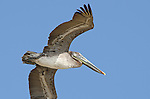 Brown Pelican (Pelecanus occidentalis carolinensis) flying in Pacheca Island. Las Perlas archipelago, Panama, Central America.