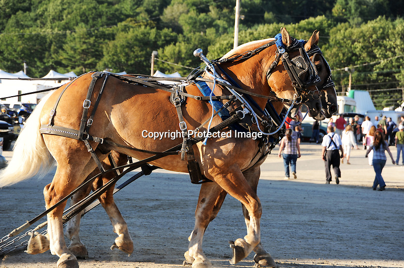 A team of draft horses after pulling competition at Cheshire Fair in Swanzey, New Hampshire USA