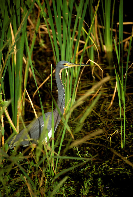FL: Florida Everglades National Park, bird, night heron.Photo Copyright: Lee Foster, lee@fostertravel.com, www.fostertravel.com, (510) 549-2202.Image: flever251