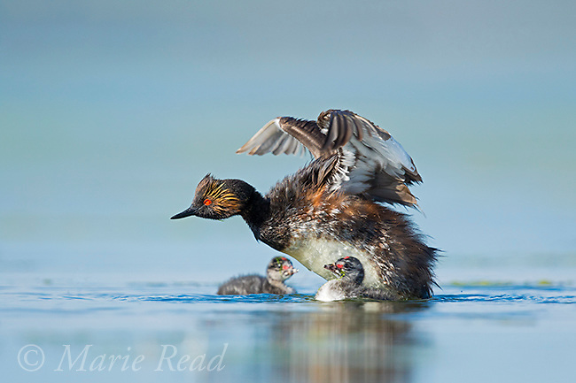 Eared Grebe (Podiceps nigricollis) adult flapping its wings, two chicks in the water,  Bowdoin National Wildlife Refuge, Montana, USA
