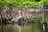 INDONESIA, Mentawai Islands, Kandui Resort, blue heron standing and fishing in the mangroves