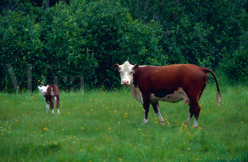 A cow and calf in a meadow. New Hampshire.