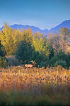 Trophy Bull Elk in a scenic view with fall color and mountains in western Montana