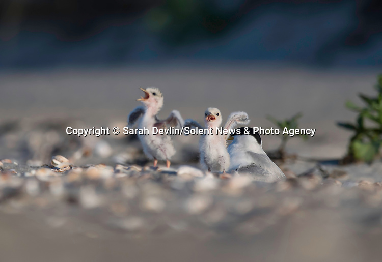 """Pictured: These little tern chicks look as if they are singing for their supper as they wait excitedly for their parent to return to them with food.  The chicks were photographed on West Dennis Beach in Cape Cod, Massachusetts USA, by freelance photographer, Sarah Devlin.<br /> <br /> Explaining what was happening Sarah said: """"Terns are able to distinguish the call of their parents among other terns in the colony.  These chicks were keeping warm under one parent when they heard the call of the other parent coming in with food.  They both jumped out from under the adult tern and began jumping about flapping their wings and looking to the sky with excitement!""""  <br /> <br /> Sarah added: """"To me these images represent pure joy and innocence.  These chicks are a reminder to find delight in life's simple pleasures.""""<br /> <br /> Please byline: Sarah Devlin/Solent News<br /> <br /> © Sarah Devlin/Solent News & Photo Agency<br /> UK +44 (0) 2380 458800"""
