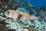 Diodon hystrix, Porcupinefish, Cozumel, Mexico