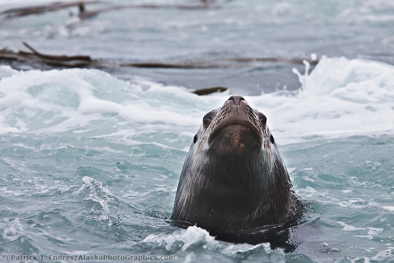 Southern sea lion, New Island, Falkland Islands.