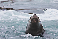 Southern sea lion, New Island, Falkland Islands.